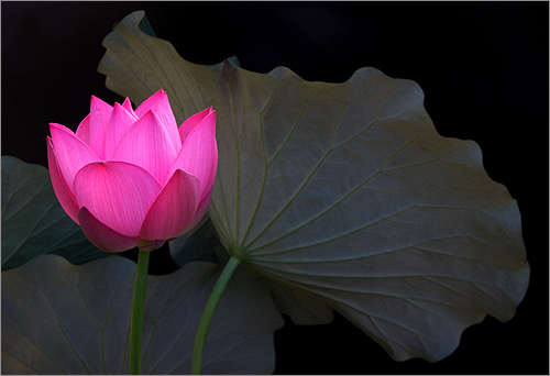 Lotus_Flower_IMG_5211